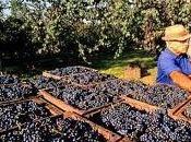 Vendemmia 2011, ancora pochi giorni stabilire prezzi dell'uva