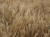 Virtù cereali secondo Nonna: l'Orzo