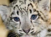 """ambientalisti oppongono alla caccia """"scientifica"""" leopardo delle nevi"""