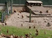 Meno antibiotico-resistenza negli allevamenti biologici polli