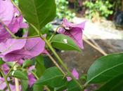 cocciniglia bouganvillea