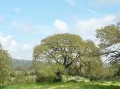 Quercus pubescens Roverella Sardegna