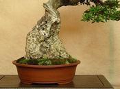Olivo bonsai, toscano DOC!