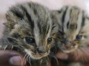 Foto giorno novembre 2011 gatti leopardo appena nati salvati nell'alluvione cambogia
