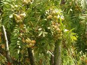 Sorbo,albero frutto giardino