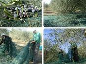 campo ulivi s'apre chiude come ventaglio...La raccolta delle olive 2011 Villa Petriolo