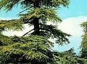 Cedro Libano