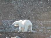 Aumenta rischio estinzione molti animali, l'orso bianco foca nelle zone Artiche