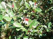 feijoa sellowiana Acca