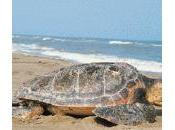 Ritrovate tartarughe morte vasto salvo