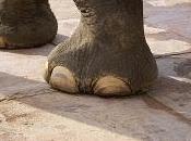 L'indeterminatezza piedi elefante