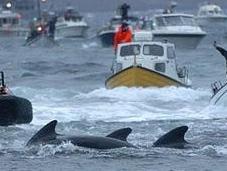 Oer: brutale strage delle Balene pilota