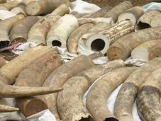 L'anno orribile degli elefanti: hanno uccisi 2500 trarne l'avorio