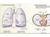 Anatomia polmoni