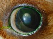 Malattie della cornea cane