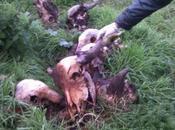 Carcasse cani Marigliano. Esposto AIDAA alla procura della repubblica Nola