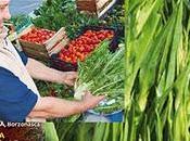 Cicoria all'acqua otrantina Salento leccese prodotto tipico Riconoscimento D.M. 8663 05/06/2009.