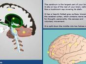 Mappa Interattiva Cervello Umano