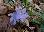 """Pervinca, """"rondine fiori"""""""